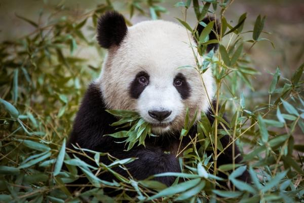 Chengdu Panda Hugs Tour